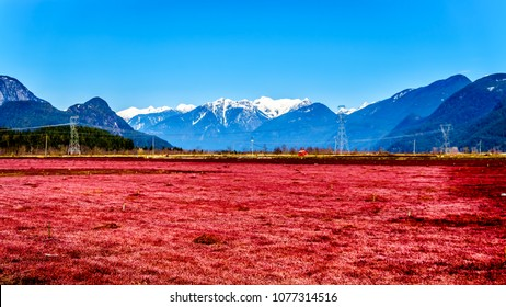 Red colored Cranberry fields near Pitt Meadows with the Snow Capped Peaks of the Golden Ears, Tingle Peak and other Mountain Peaks of the Coast Mountain Range in the Fraser Valley of British Columbia