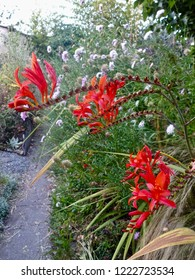 Red colored Freesia (Iridaceae) growing in a wildflower garden in Berkeley California, Summer Season