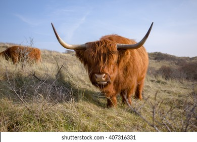 A red colored highlander cow is moving his big head forward while his tongue is sticking out sidewards
