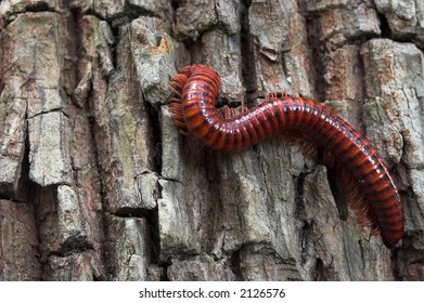 Red coloured millipede climbing up a tree