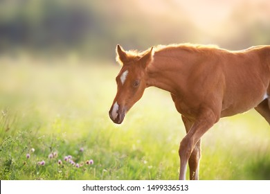 Red colt portrait at sunlight on summer field