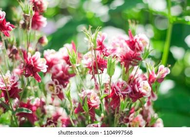 Red columbine (Aquilegia formosa). Canadian columbine or Aquilegia beautiful native wild flower of western Canada.