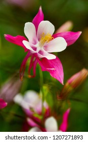 Red columbine (Aquilegia formosa). Canadian columbine or Aquilegia granny bonnet beautiful native wild flower of western Canada. Closeup vibrant pink & white color Aquilegia. Columbine in green garden