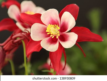 Red Columbine Red Columbine with long red spurs, and yellow sepals.