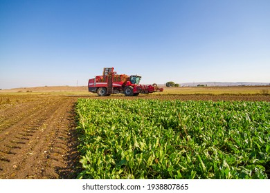 red combine harvester harvest of sugar beet
