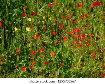 Red common poppies or papaver rhoeas, and Bermuda buttercup or oxalis pes-caprae, wild plants in a field, Attica, Greece