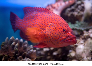 red coral grouper swims in the red sea