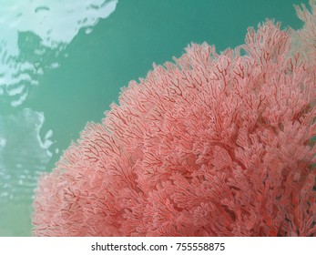 Red coral at the ocean, is a beautiful natural, natural background