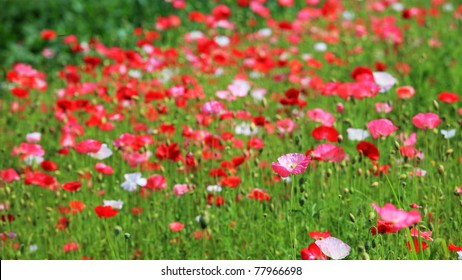 Red corn poppy flower in the field, shallow focus