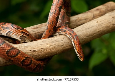 Red Corn snake (Elaphe guttata) slithering on a bare branch