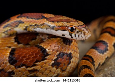 Red corn snake (Pantherophis guttatus)