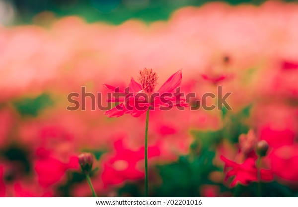 Red cosmos flower for red love background