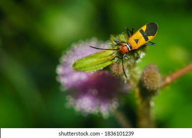 Red cotton stainer or Red cotton bug (Dysdercus cingulatus) resting on top of Mimosa flower (Mimosa pudica Linn) with dark green background