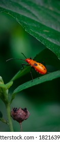 red cotton stainer hiding under a leaf on a rainy day