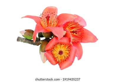 Red cotton tree flowers isolated on white background, ( Bombax Ceiba )