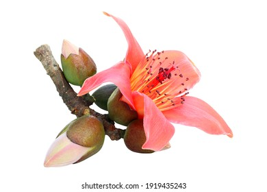 Red cotton tree flowers isolated on white background, ( Bombax Ceiba ) with clipping path