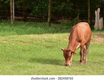 Red cow is eating grass.