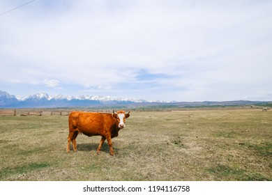 Red cow in a field on a background of mountains