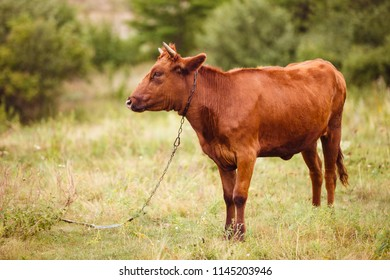 A red cow grazing on the field.