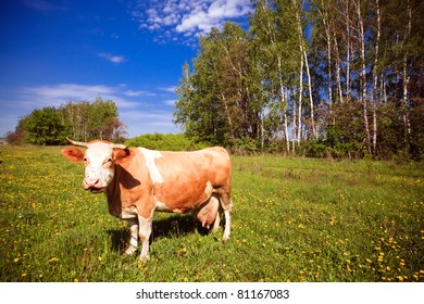 Red cow in a meadow