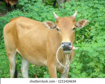 red cow in nuture