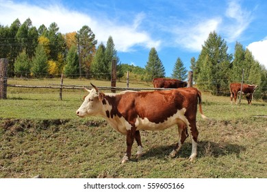 The red cow on a mountain pasture