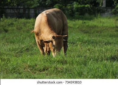 Red cow on a pasture,Red cow is eating grass in the field.Thai cow on a pasture