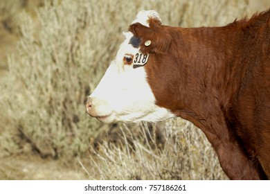 A red cow used for its beef.