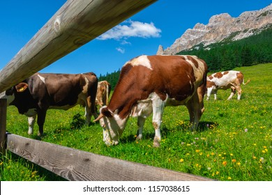Red cows grazing on meadow near the fence, Coritna D'Ampezzo, South Tyrol, Dolomites, Italy.
