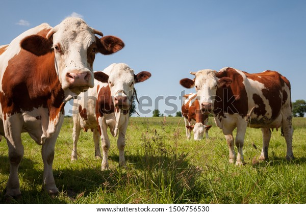 Red cows in the green pasture