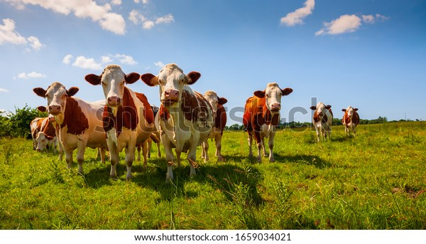 Red cows in the green pasture looking