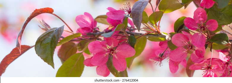 Red crab apple flowers banner