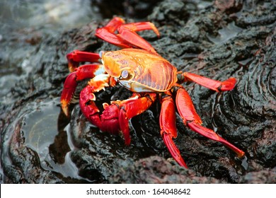 Red Crab on Lava Stone