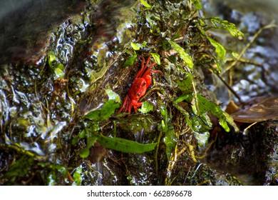 Red crab at tonsai waterfall Phuket Thailand