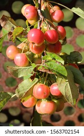 Red Crabapples growing. malus x robusta red sentinel
