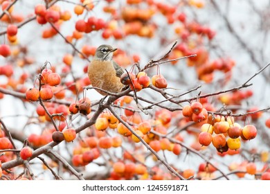 Red crabapples tree in autumn and American Robin, Vancouver Canada