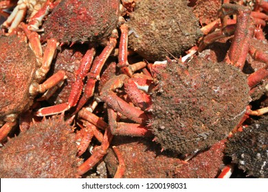 Red crabs, Essaouira, Morocco