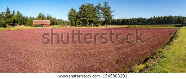 Red Cranberry Bogs after harvesting and red barn.