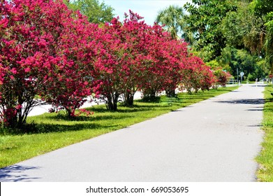red Crape Myrtle's  in full bloom seen here on the Pinellas Trail Largo Florida, USA