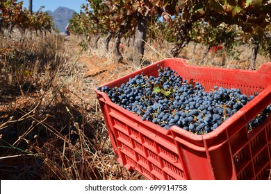 Red crate full of freshly harvested red wine grapes in autumn vineyard scene