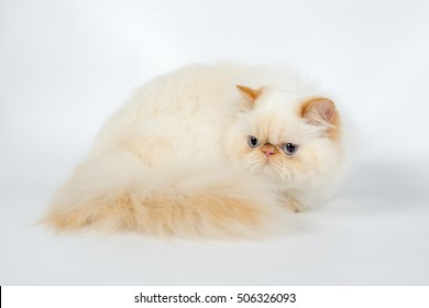 red cream persian cat isolated on a white background, studio photo