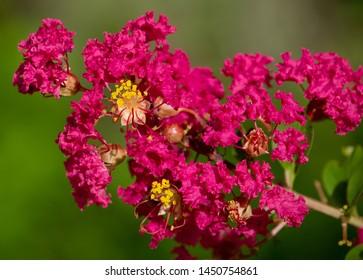 Red Crepe Myrtle Flower at Lake Seminole Park, Florida #2