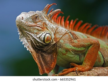 Red crested iguana
