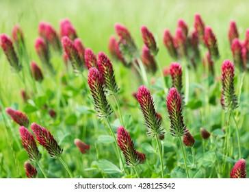 Red crimson clover blossom in the spring sunlight. (Trifolium incarnatum). Shallow dof.