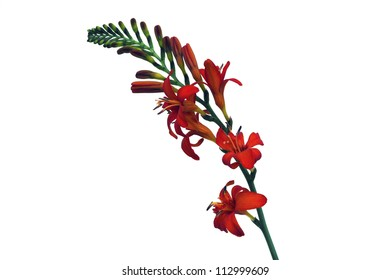 A red crocosmia flowers with white background