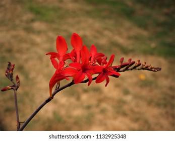 Red Crocosmia 'Lucifer' flowers