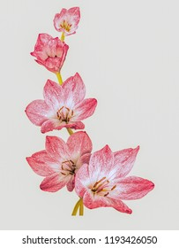 Red crocuses on a light background