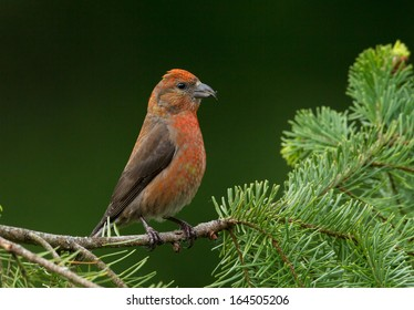 A red crossbill male perches alertly on Douglas fir branch before flying off with the rest of the flock