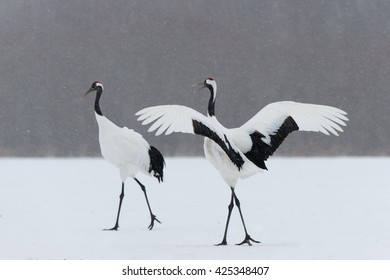 Red Crown Cranes (Grus japonensis) - Displaying to Partner