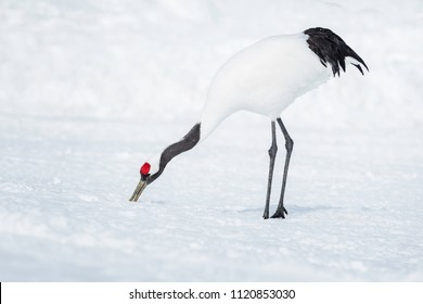 red crowned crane foraging